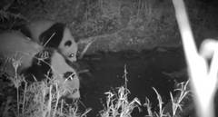 Wild giant panda mother, cub captured on camera